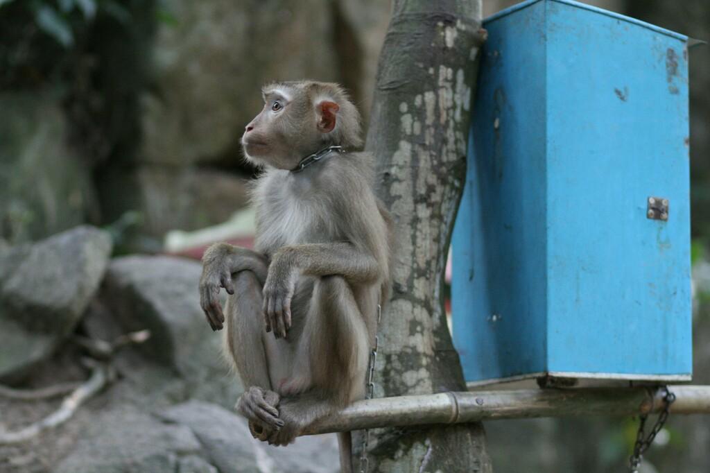 Affe als Haustier