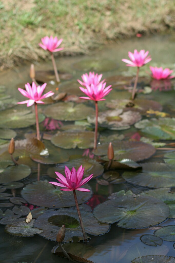 Seerosen im Banteay Srei