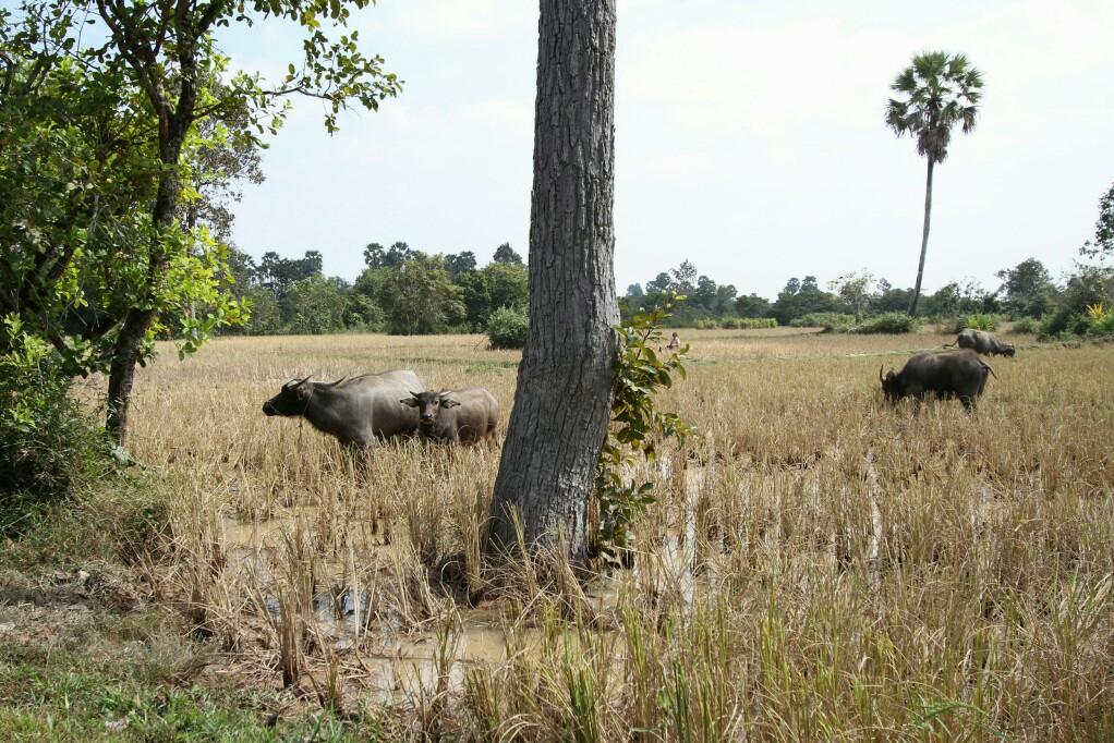 Wasserbüffel auf Reisfeld